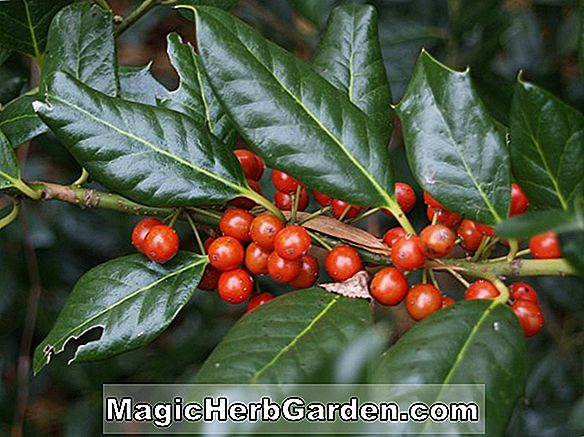 Ilex opaca (Old Heavy Berry American Holly)