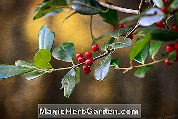 Ilex attenuata (Øst Palatka Holly) - #2