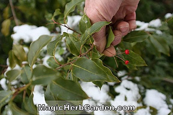 Ilex attenuata (Pawley's Island Holly) - #2