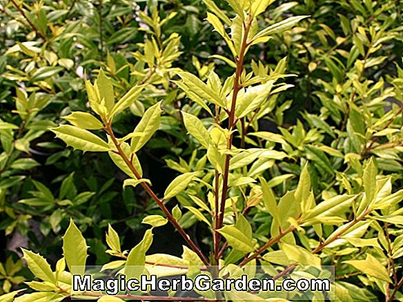 Ilex attenuata (Foster nr. 6 Holly) - #2