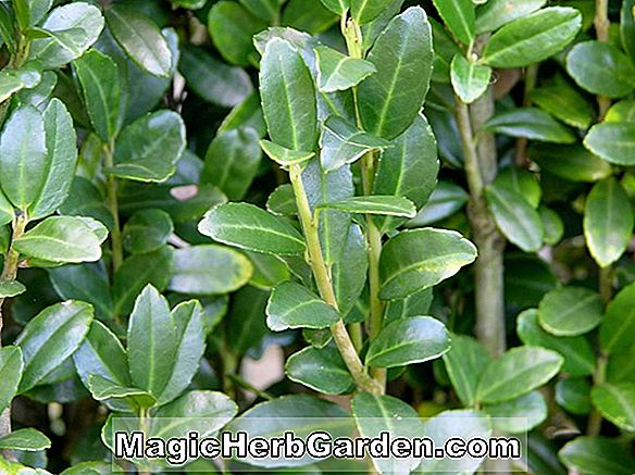 Ilex crenata (Cole's Hardy Holly) - #2