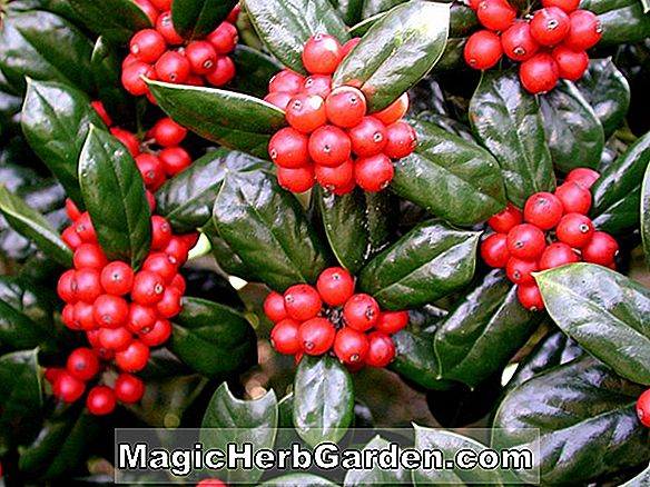 Planter: Ilex cornuta (Sunrise Holly)