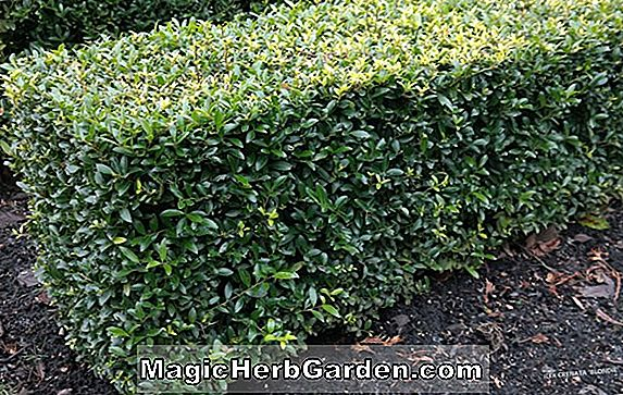 Ilex cornuta (Willowleaf Holly) - #2