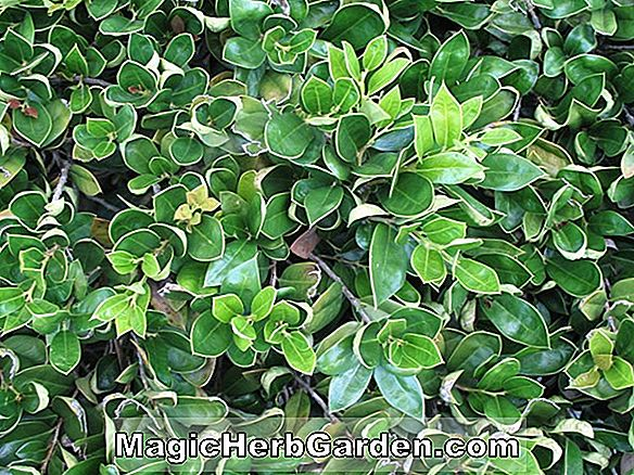 Planter: Ilex cornuta (Olga Holly)