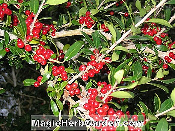 Planter: Ilex cornuta (Jungle Gardens Holly)
