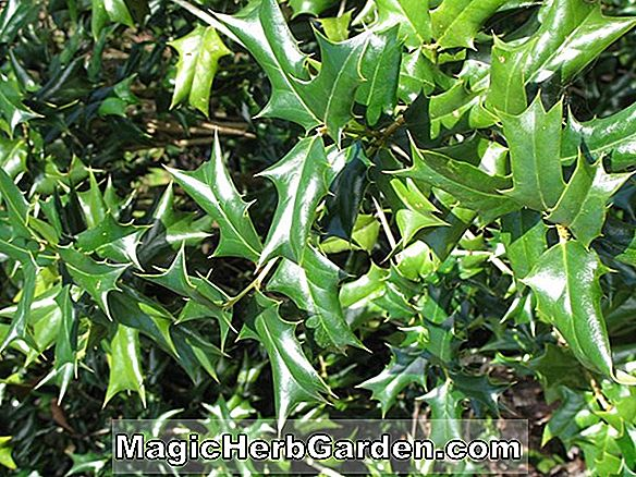 Ilex aquifolium (Golden Milkboy Holly)