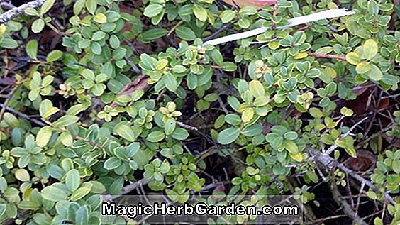 Ilex Cornuta (Ryan Holly)