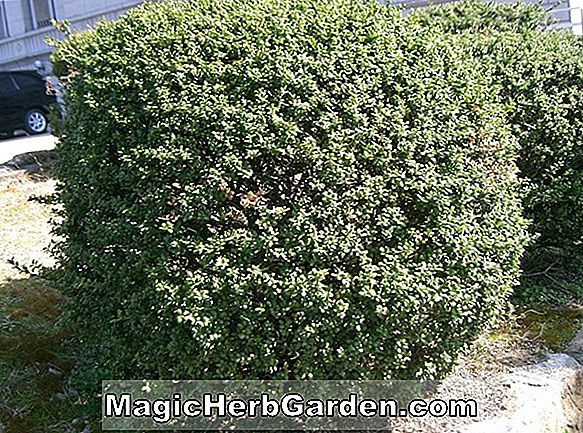 Planter: Ilex crenata (Centennial Holly) - #2