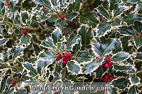 Planter: Ilex crenata (Golden Queen Holly) - #2