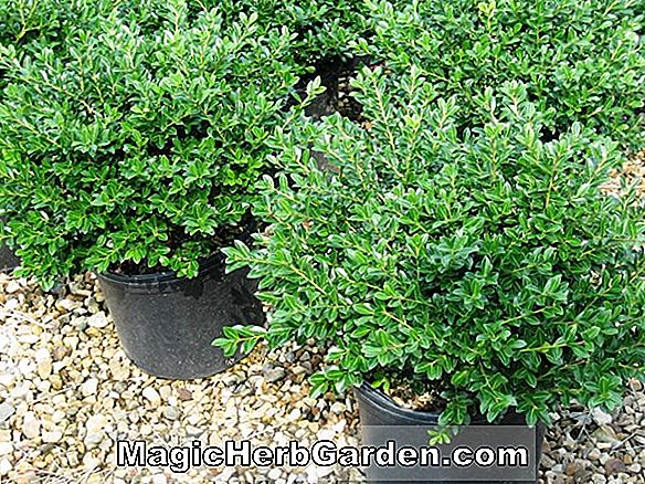 Ilex crenata (Green Luster Japanese Holly)