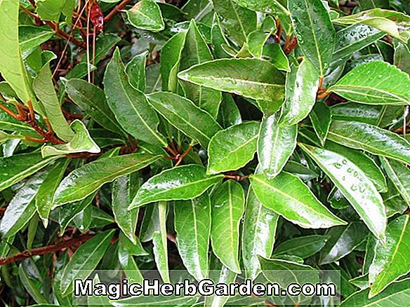 Ilex crenata (Golden Variegated Holly) - #2