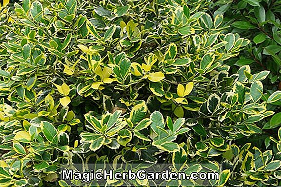 Ilex crenata (Highlight Holly)