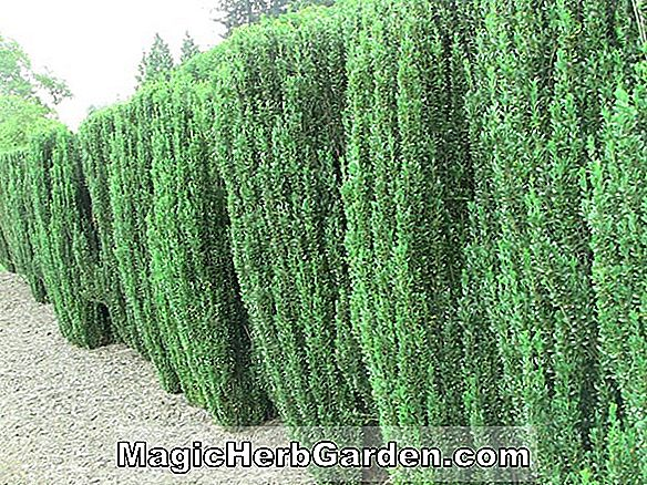 Ilex Crenata (Imperial Holly) - #2