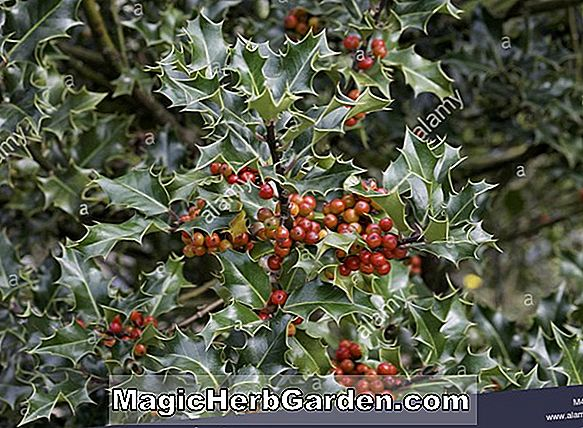 Ilex Crenata (Ivory Hall Holly)