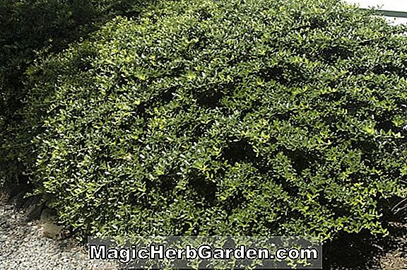 Ilex crenata (John Nash Holly)