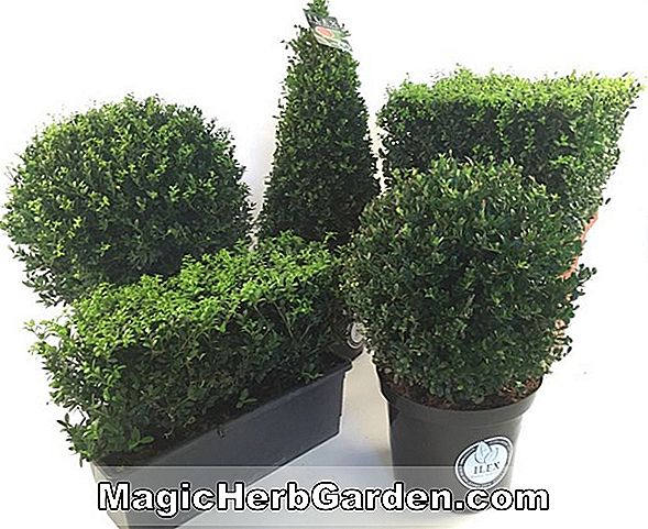 Planter: Ilex crenata (Lisa Holly)