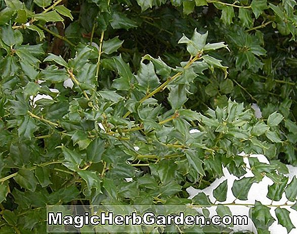 Ilex crenata (Kingsville Green Cushion Japanese Holly) - #2