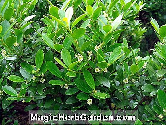 Ilex crenata (Microphylla Supreme Holly) - #2