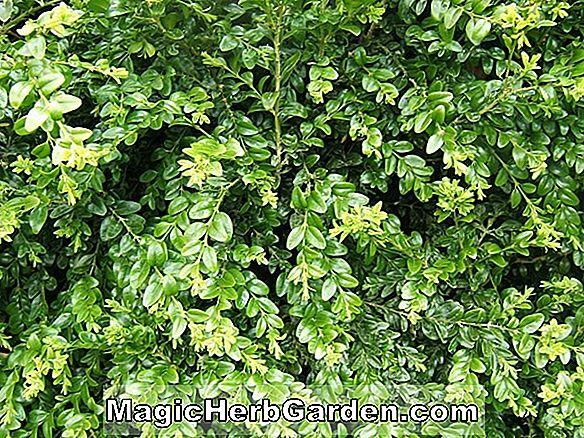 Planter: Ilex Crenata (Northern Beauty Japanese Holly)