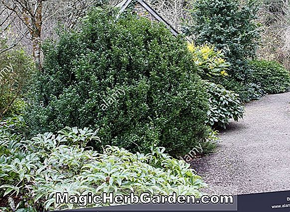 Pflanzen: Ilex crenata (Honeycomb Holly)