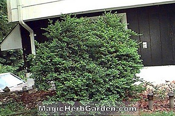 Planter: Ilex crenata (Chesapeake Holly) - #2