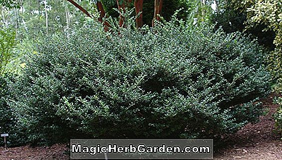Ilex crenata (Ellipta Gold Holly) - #2