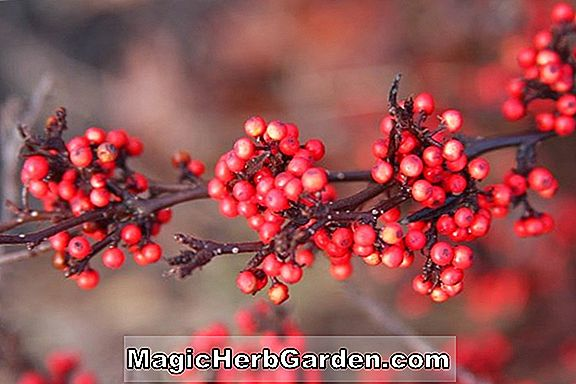 Ilex crenata (Mr. C Holly) - #2