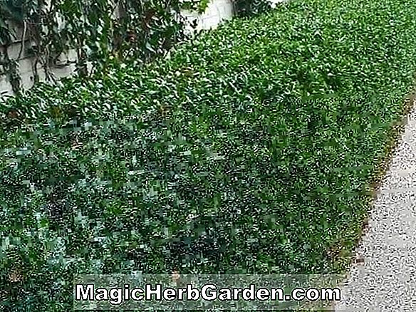 Plantes: Ilex crenata (Foster No.1 Holly) - #2