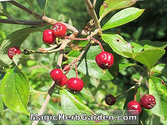 Ilex decidua (Council Fire Possumhaw)
