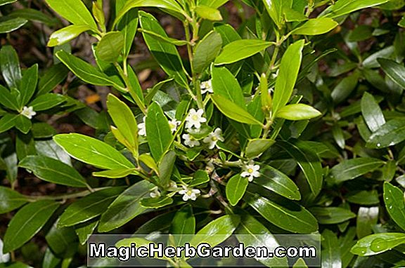 Ilex glabra (Steed Inkberry)