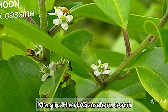 Ilex latifolia (Mary Nell Lusterleaf Holly)
