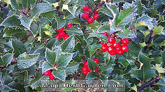 Tumbuhan: Ilex meserveae (Blue Maid Meserve Holly)