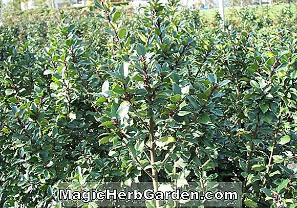 Planter: Ilex Meserveae (China Girl Meserve Holly)