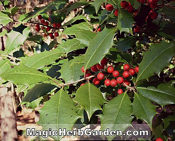 Ilex cassine (Wild Robert Holly)