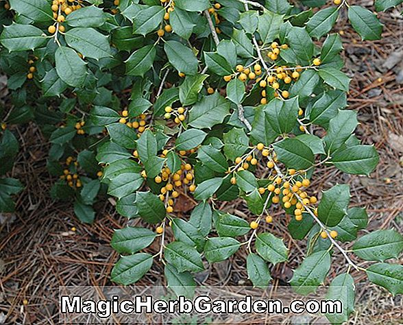 Planter: Ilex opaca (Blanche Morgan Holly)