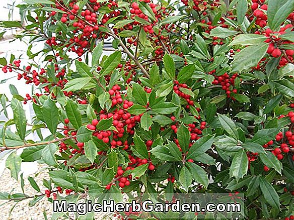 Ilex opaca (Black Beauty Holly)