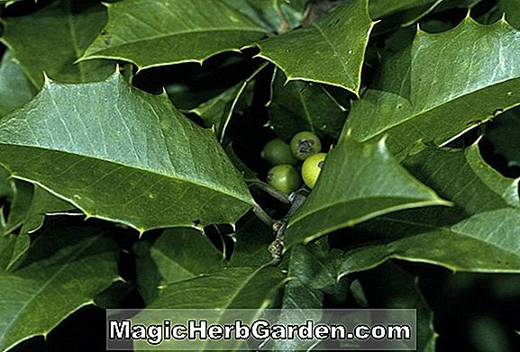 Ilex opaca (Canary American Holly)