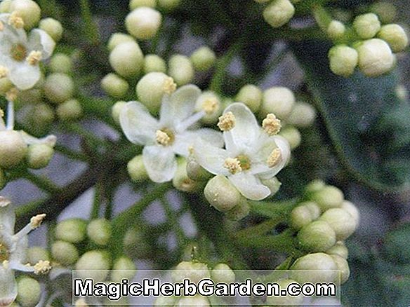 Planter: Ilex opaca (Jul Hedge Holly) - #2