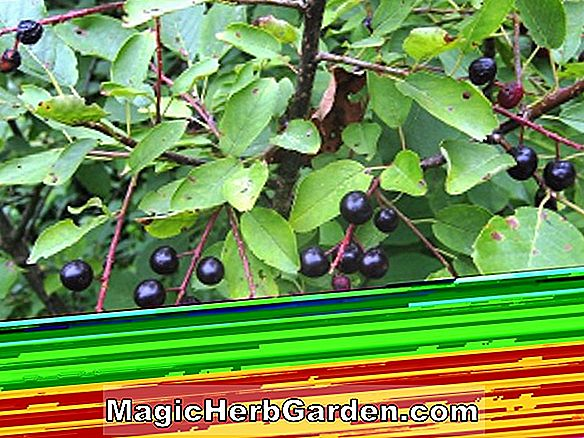 Planter: Ilex opaca (Dias Holly)