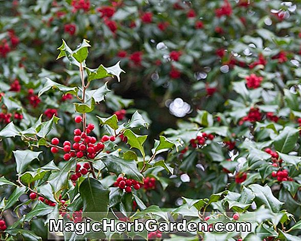 Planter: Ilex opaca (Dull Red Holly)