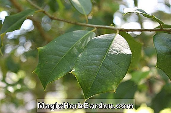 Ilex opaca (Ed Thomas Holly)