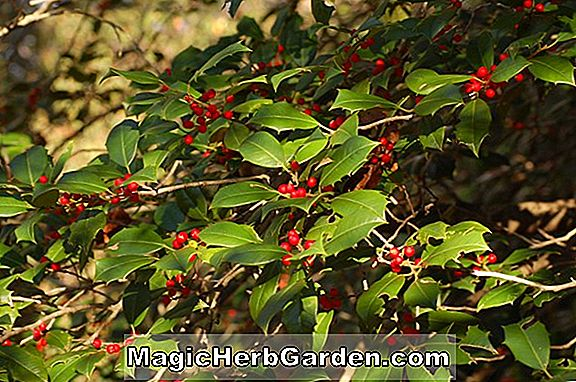 Ilex opaca (Albert King Holly) - #2