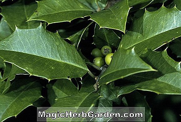 Tumbuhan: Ilex opaca (Edith American Holly)