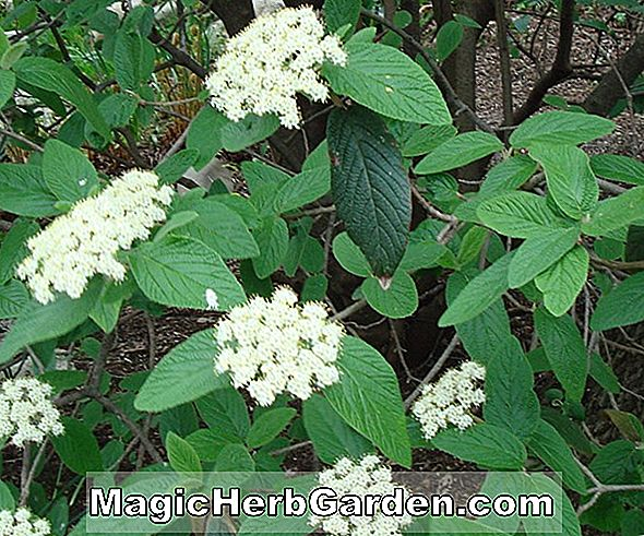 Ilex opaca (Laurel Lake)