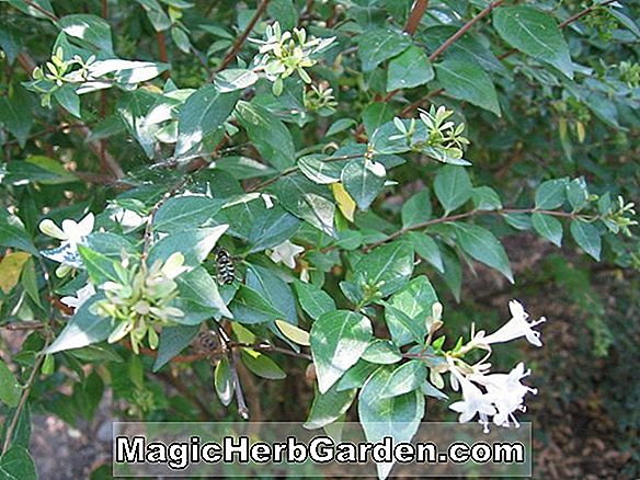 Ilex opaca (Anne Arundel Holly)