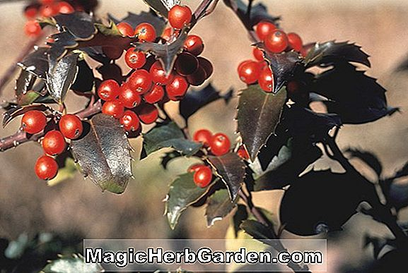Ilex cornuta (September Schönheit Holly) - #2