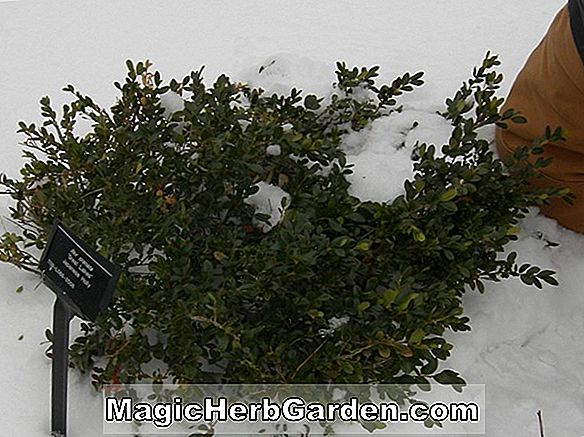 Planter: Ilex opaca (Ohio King) - #2