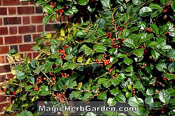 Planter: Ilex opaca (B & 0 Holly) - #2