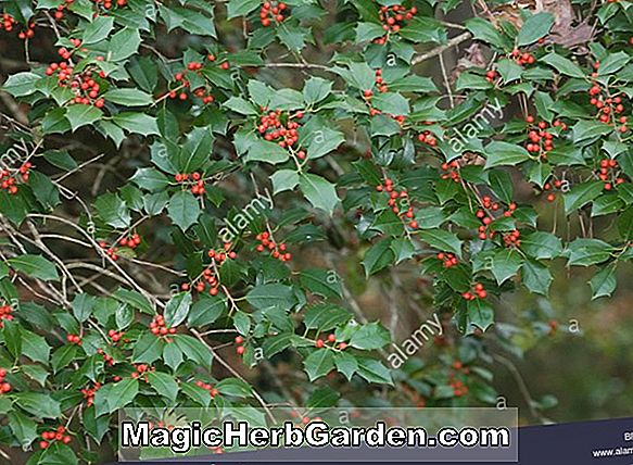 Tumbuhan: Ilex opaca (Brooks Holly) - #2