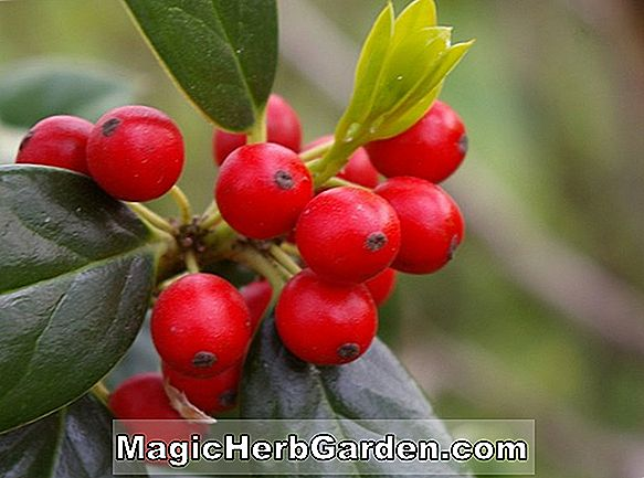 Ilex opaca (Dr. Cribbs Holly)